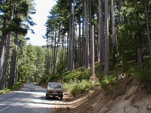 Une vue des pins de la forêt de san petru di verdi